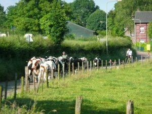 De koeien gaan dagelijks naar de wei