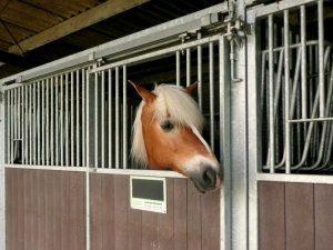Haflinger in de paardenbox