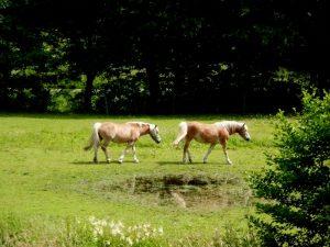 De Haflingers lopen in de wei