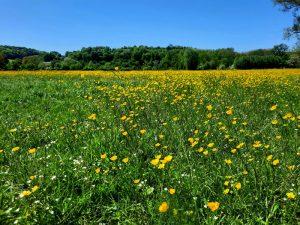 Een boterbloemen wei in de Zuid-Limburgse heuvels