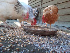 Onze kippen genieten in het gras, van het voer en mogen naar buiten of blijven binnen zoals ze maar willen. Dat is nog eens een kippenleven