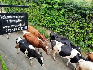 Onze koeien komen uit de wei