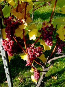 Zonovergoten wijndomein in Zuid-Limburg