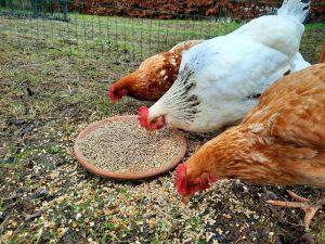 Heerlijk-graan-geeft-de-lekkerste-eitjes